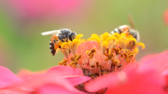Bee in cosmos flower