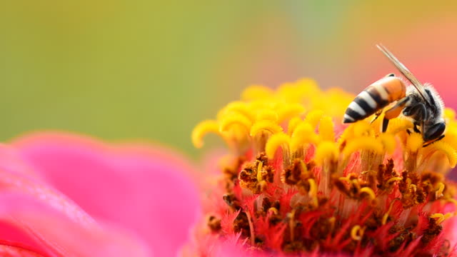bee in cosmos flower - pollen stock videos & royalty-free footage