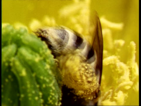 cu bee in flower of prickly pear cactus, opuntia polyacantha being watched by lynx spider, peucetia viridans, pan right and tilt up to spider, usa - prickly pear cactus stock videos & royalty-free footage