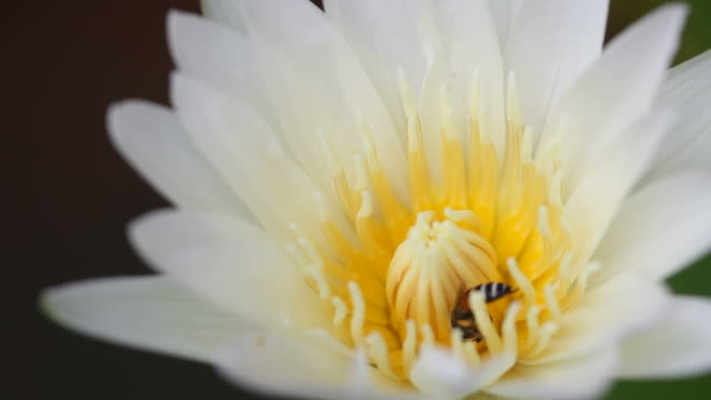 Bee in lotus flower