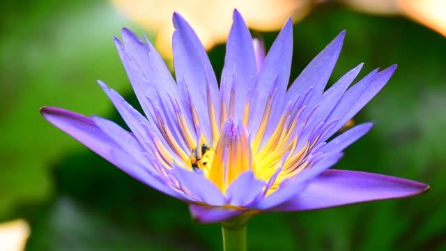 vídeos y material grabado en eventos de stock de bee in lotus - tallo