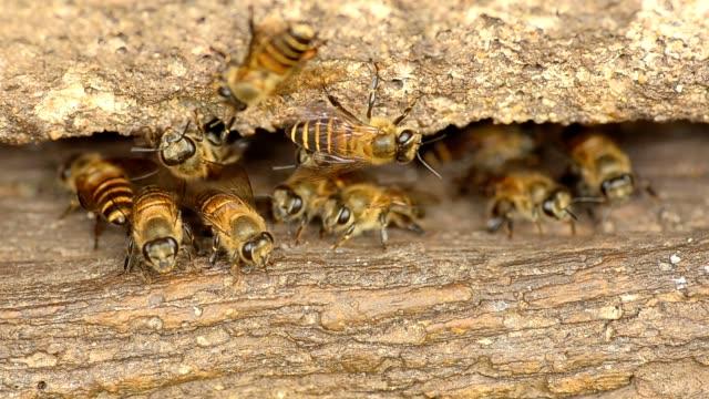 stockvideo's en b-roll-footage met bee in wooden beehive - werkdier