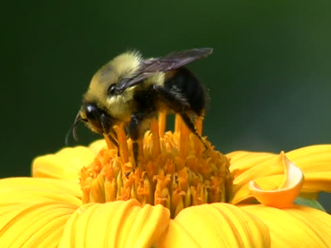 bee in yellow flower closeup - bumblebee stock videos & royalty-free footage