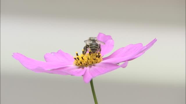a bee investigates a cosmos. - ståndare bildbanksvideor och videomaterial från bakom kulisserna