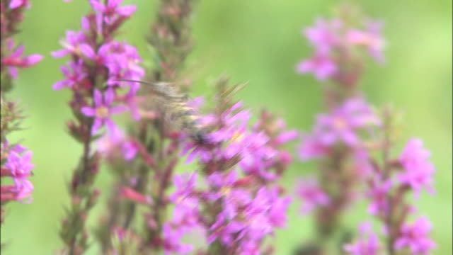 a bee investigates purple loosestrife flowers. - shimane prefecture stock videos & royalty-free footage
