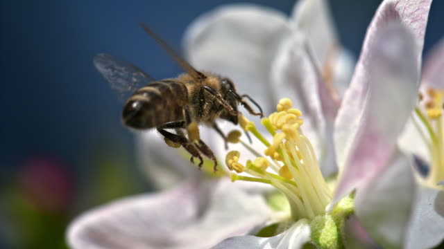vídeos de stock e filmes b-roll de slo mo bee landing on flower - abelha