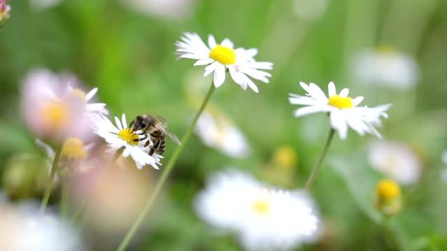 vídeos y material grabado en eventos de stock de abeja en margarita - moscardón