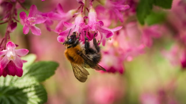 bee on a flower - slow motion - bumblebee stock videos & royalty-free footage