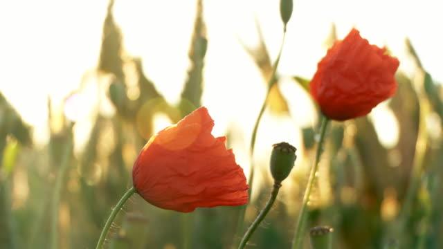 hd: bee on a poppy - back lit flower stock videos & royalty-free footage
