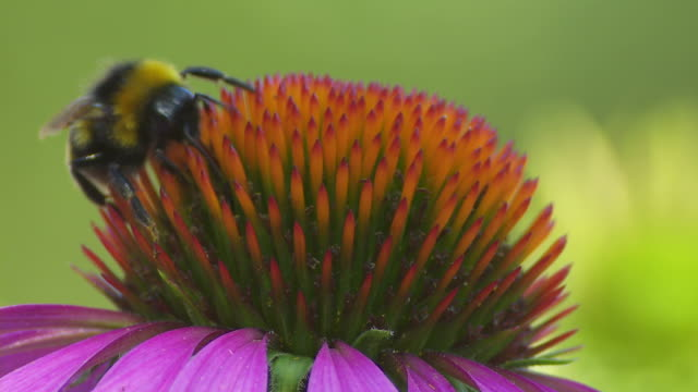Bee on a Purple Coneflower (Macro)