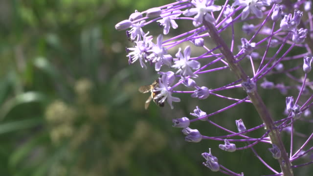 bee on a purple flower - hyacinth stock videos & royalty-free footage