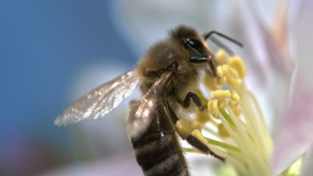 vídeos de stock, filmes e b-roll de abelha slo mo em um stamen - primeiríssimo plano