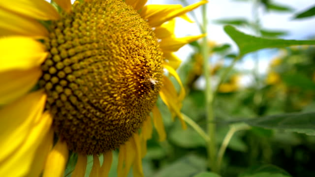 bee on a sunflower - pollen grain stock videos & royalty-free footage
