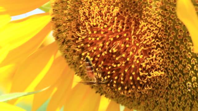 vidéos et rushes de abeille sur tournesol - étamine