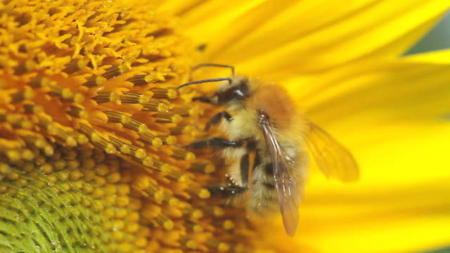 bee on a sunflower - sunflower stock videos and b-roll footage