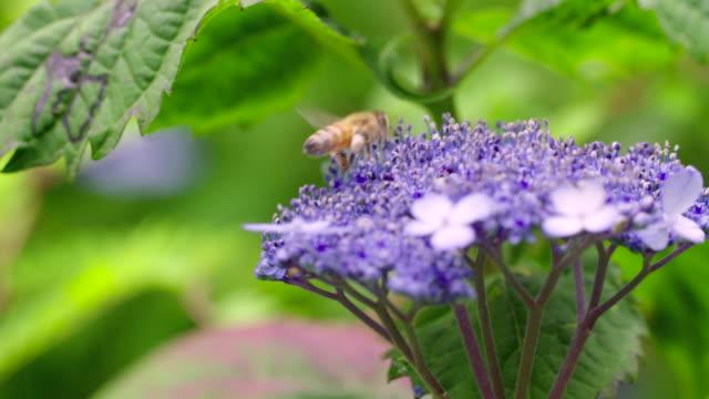 vídeos de stock e filmes b-roll de a bee on a tea of heaven flower (hydrangea serrata) in jeju island - invertebrado