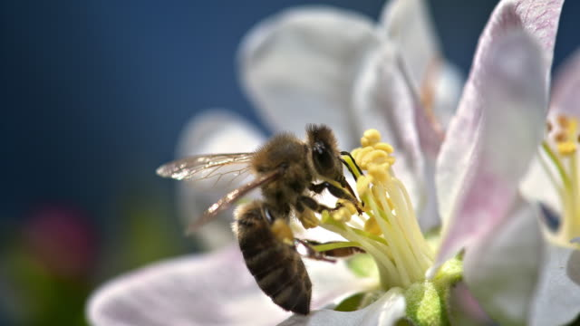 SLO MO bee on a white petal