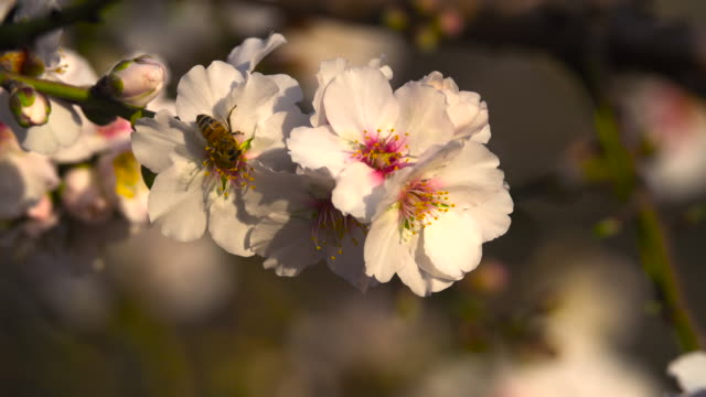 bee on almond tree flower 1 - pollination stock videos & royalty-free footage