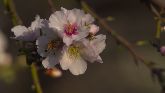 bee on almond tree flower 2 - pollination stock videos & royalty-free footage