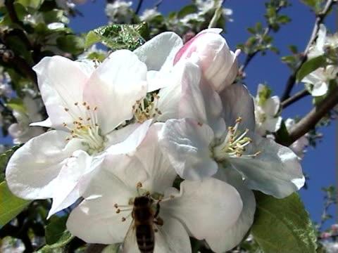 vídeos y material grabado en eventos de stock de abeja en manzana flores (pal - árbol de hoja caduca