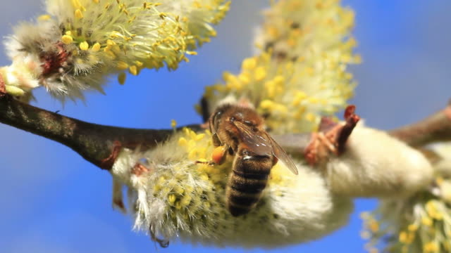 bee on blooming pussy willow