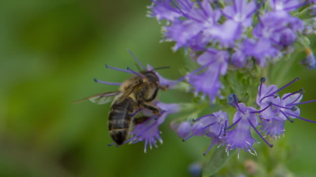 Bee on Caryopteris Flower