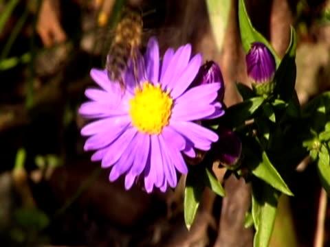 bee on flower ntsc - pistil stock videos & royalty-free footage