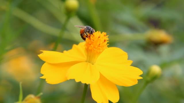 vídeos de stock, filmes e b-roll de abelha na flor - abelha obreira
