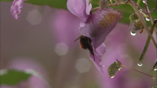 Bee on flowers of Himalayan balsam, Valley of Flowers, Himalayas Available in HD.