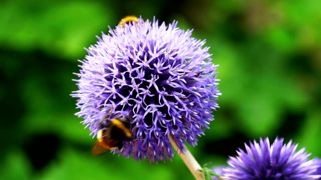 bee on globe thistles - thistle stock videos & royalty-free footage