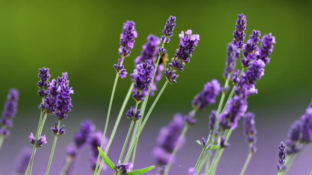 bee on lavender - wildflower stock videos & royalty-free footage