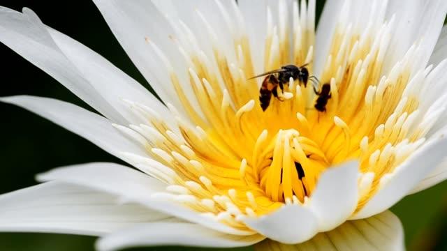 vídeos de stock, filmes e b-roll de abelha na flor de lótus - abelha obreira