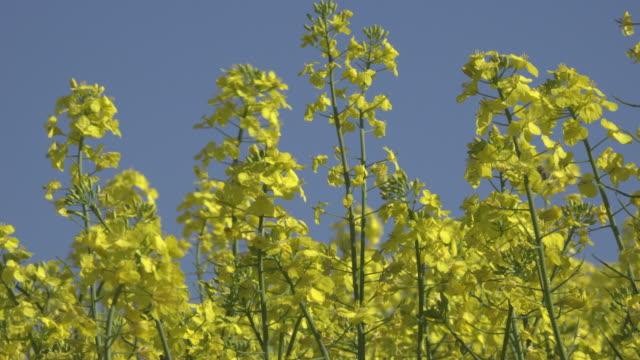 bee on oilseed rape blossom - crucifers stock-videos und b-roll-filmmaterial