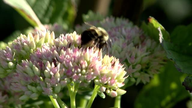 ハナバチにピンクの花 - 食糧を捜す点の映像素材/bロール