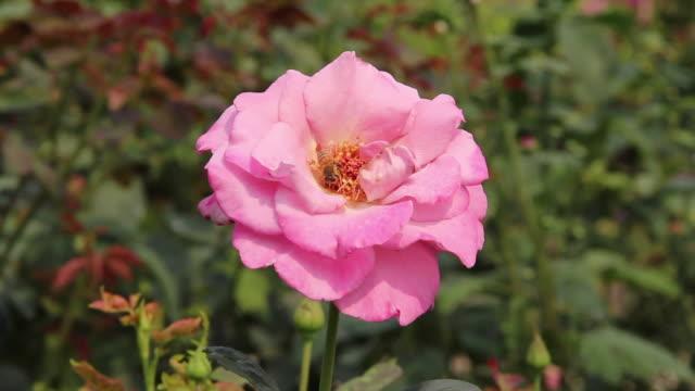 vídeos y material grabado en eventos de stock de abeja en rosa flores. - una rosa