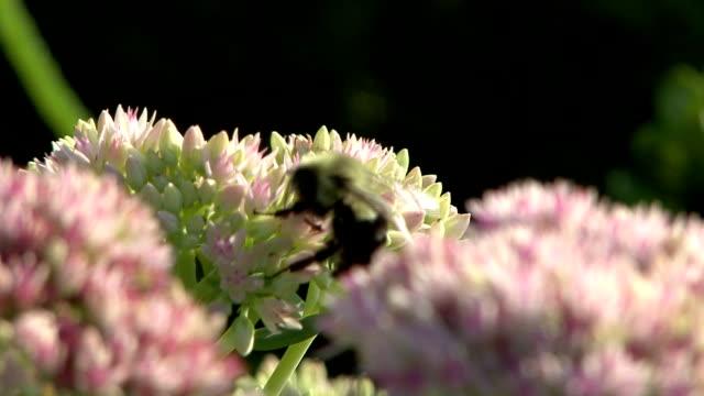 ハナバチにピンクの花