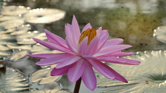 vídeos y material grabado en eventos de stock de abeja en rosa loto mañana. - loto