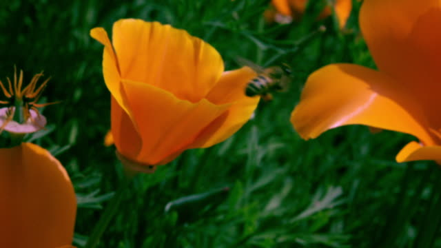 vídeos de stock, filmes e b-roll de bee on poppy flower in big sur - abelha