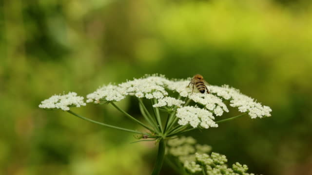 bee on queen anne's lace flower - biodiversity stock videos & royalty-free footage