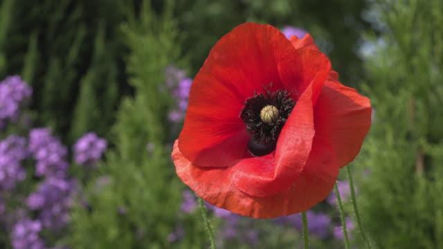 bee on red poppy flower in garden - staubblatt stock-videos und b-roll-filmmaterial
