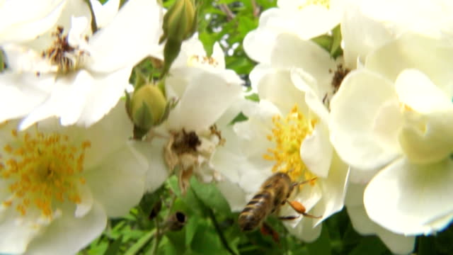 """Bee on rose flowers, high-speed"""