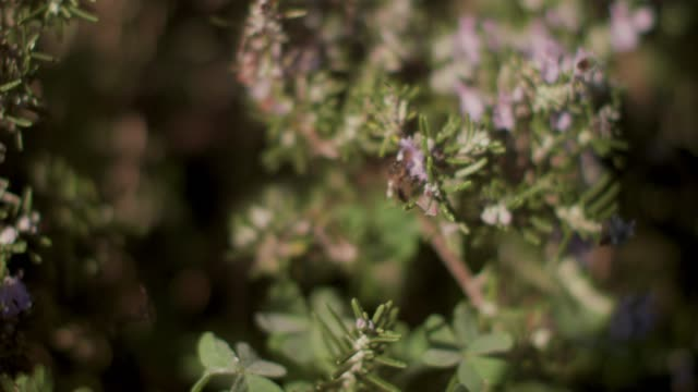 bee on rosemary flower in sunshine - threatened species stock videos & royalty-free footage