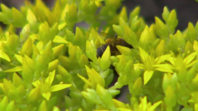 bee on stonecrop - insect stock videos & royalty-free footage