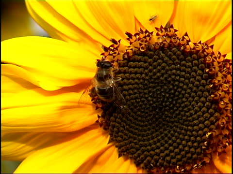bee on sunflower pal - pistil stock videos & royalty-free footage