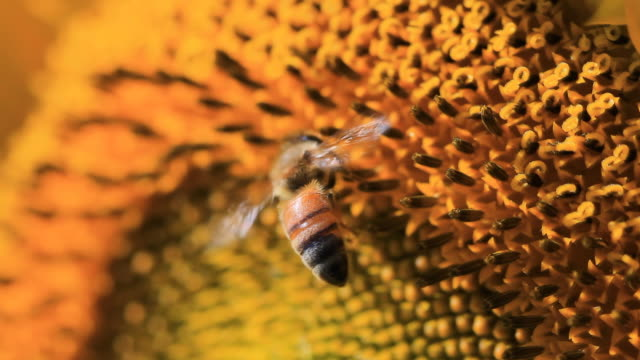 vídeos de stock, filmes e b-roll de abelha de girassol - mangangá