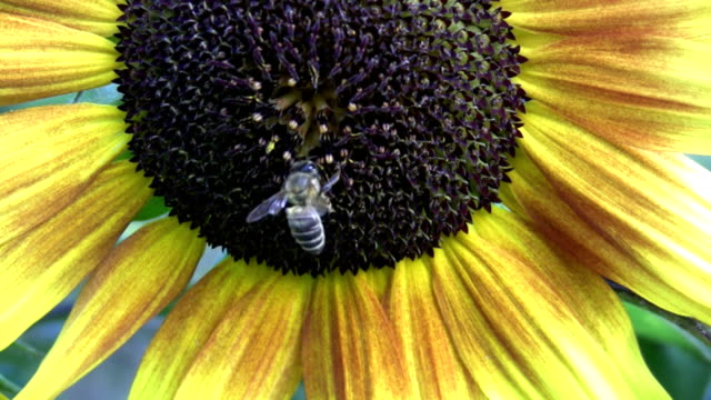 hd: bee on sunflower - invertebrate stock videos & royalty-free footage