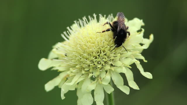 Bee on Tatarian Cephalaria