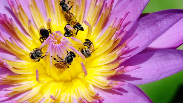 bee on the purple water lily - tropical climate stock videos & royalty-free footage