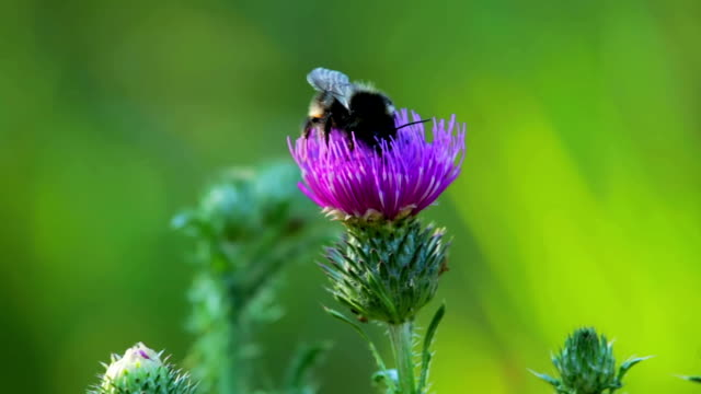 bee on thistle - thistle stock videos & royalty-free footage