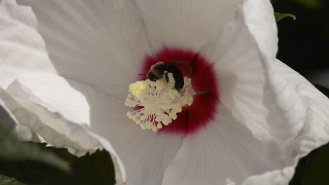 Bee on white perennial hibiscus